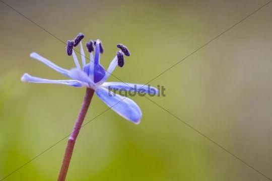 Alpine squill (Scilla bifolia)