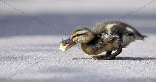 Mallard Duckling (Anas plathyrrhynchos) eating bread crumbs