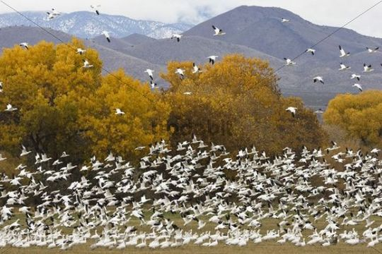 Snow Geese (Anser caerulescens atlanticus, Chen caerulescens) overwintering, flying flock, Bosque del Apache Wildlife Refuge, New Mexico, USA