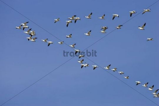 Snow Geese (Anser caerulescens atlanticus, Chen caerulescens) flying, wedge formation, formation flight, Bosque del Apache Wildlife Refuge, New Mexico, USA, North America