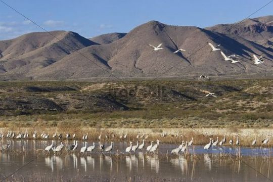 Sandhill Cranes (Grus canadensis) in the countryside, Bosque del Apache Wildlife Refuge, New Mexico, North America, USA