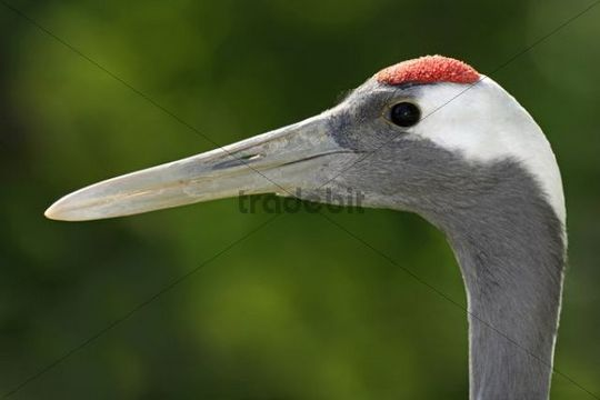 Red-crowned Crane (Grus japonensis), portrait
