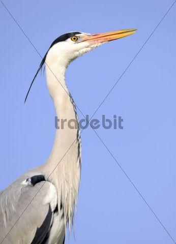 Grey Heron (Ardea cinerea), portrait
