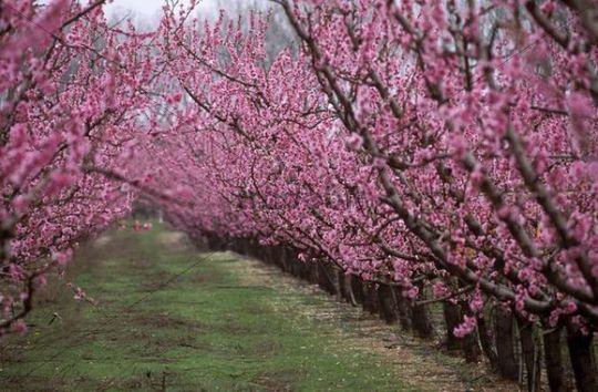 Prunus Persica Tree Tree Prunus Persica