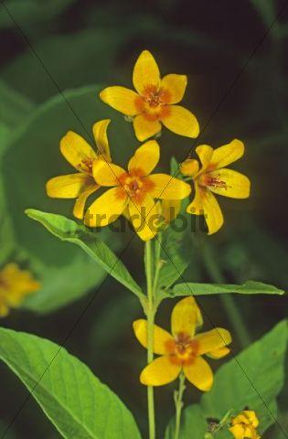Garden Loosestrife or Yellow Loosestrife (Lysimachia vulgaris)