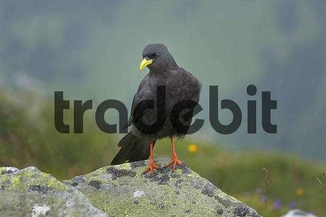 Alpine Chough Pyrrhocorax graculus, Pilatus, Switzerland