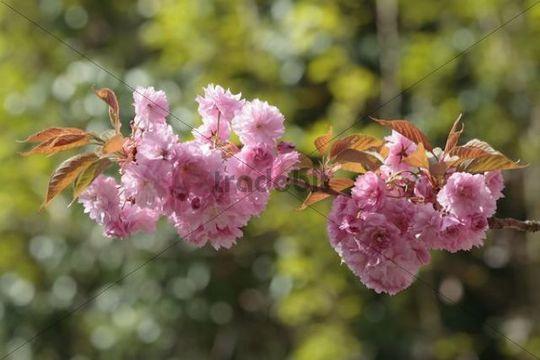 Japanese Cherry or Oriental Cherry (Prunus serrulata), flowering branch