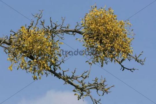 Flowering European Mistletoe or Common Mistletoe (Viscum album) on an apple tree