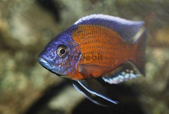 Kadango red fin hap (Copadichromis borleyi, syn. Haplochromis borleyi ...