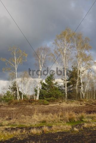 Flowering birch trees (Betula pubescens) in moorland, Nicklheim, Bavaria, Germany, Europe