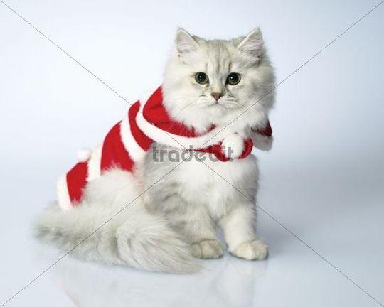 Dressed cat