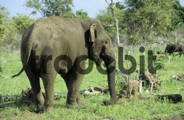 wild elephant at Udawalawe national park, Sri Lanka