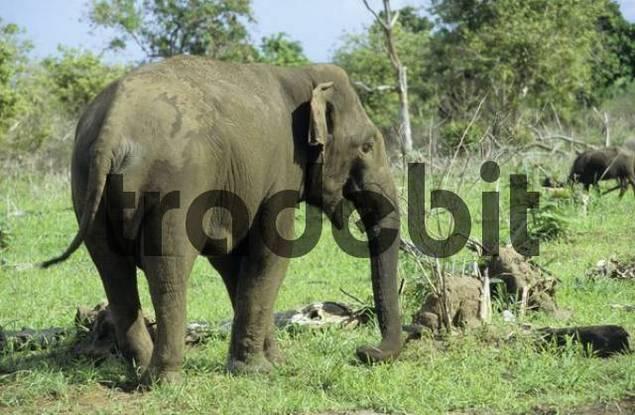 wild elephant at Udawalawe national park, Sri Lanka