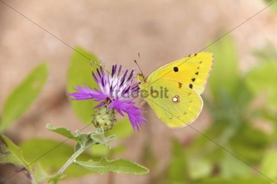 Dark Clouded Yellow Butterfly (Colias croceus), Morocco, Africa