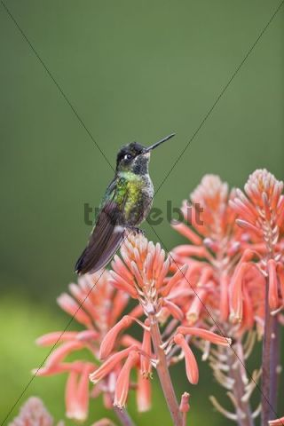 Magnificent Hummingbird (Eugenes fulgens), male sitting on red flower, Cerro de la Muerte, Costa Rica, Central America