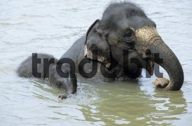 young elephants playing in the water, Pinnawela Elephant Orphanage, Sri Lanka