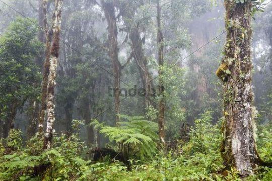 Cloud forest, rainforest at Cerro de la muerte, Costa Rica, Central America