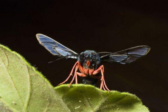Moth in mountain rainforest, Braulio Carrillo National Park, Costa Rica, Central America