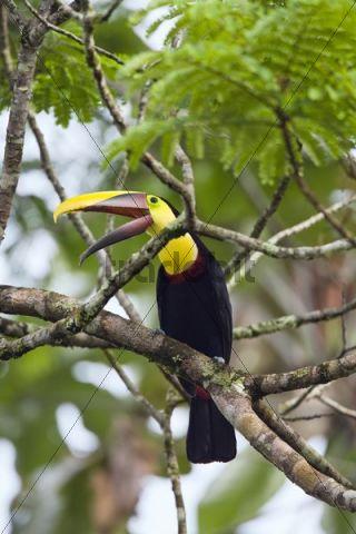 Swainson´s Toucan (Ramphastos ambiguus swainsonii), rainforest, Braulio Carrillo National Park, Costa Rica, Central America