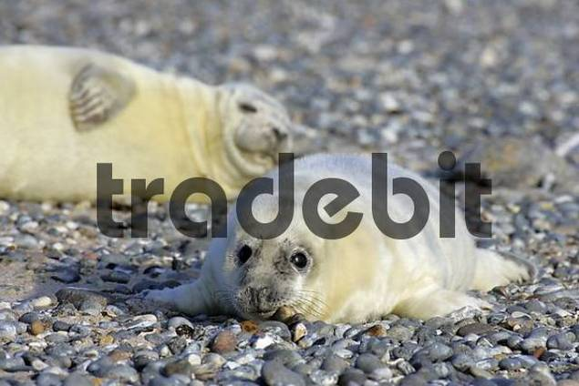 Two gray seal babys at the beach Halichoerus grypus