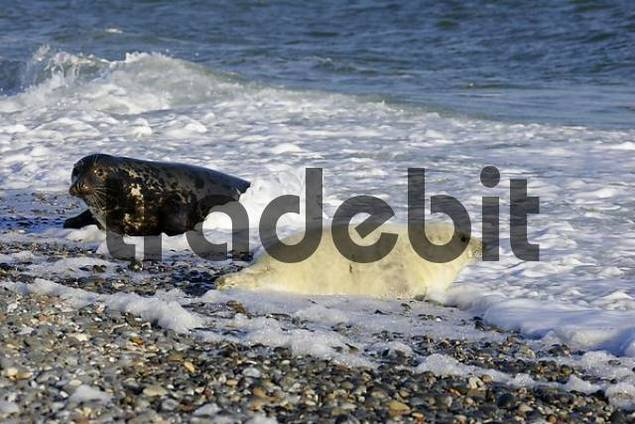 Gray seal baby and its mother in the background at the beach Halichoerus grypus