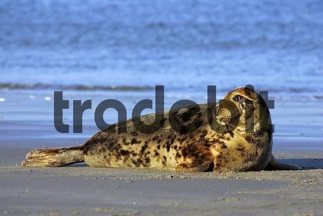 Female gray seal lying at the beach taking a sunbathe Halichoerus grypus