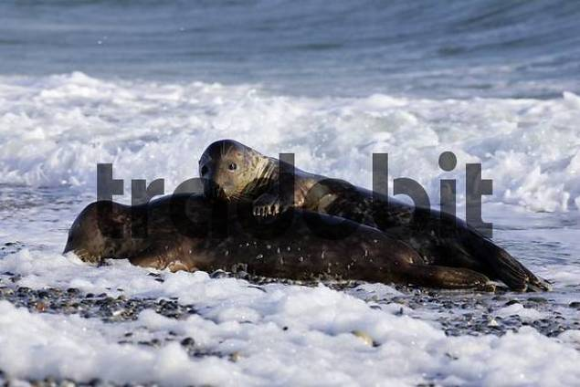 Two gray seals playing in the waves at the beach Halichoerus grypus