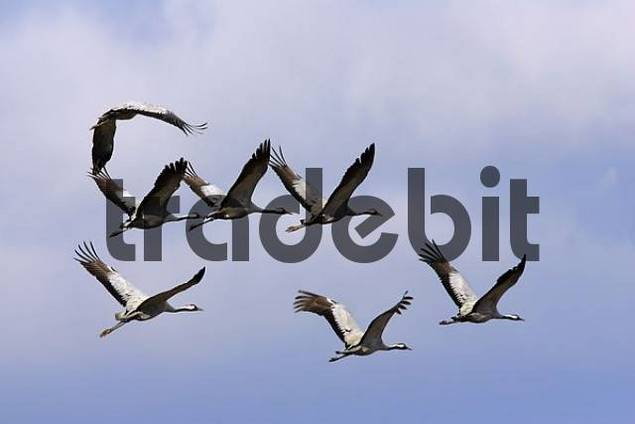 Flying cranes Common Cranes Grus grus