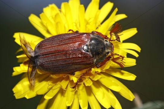 European cockchafer beetle or May beetle (Melolontha melolontha), with wings unfolded, on a dandelion flower (Taraxacum officinale)