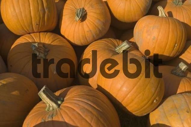 pile of large orange cucurbits or gourds