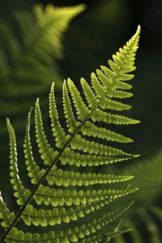 Frond of a fern