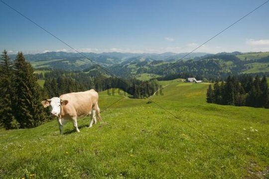 Emmental landscape with cattle grazing above Eggiwil, Canton Bern or Berne, Switzerland, Europe