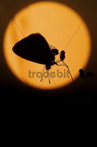 Common Blue (Lycaenidae) at sunrise