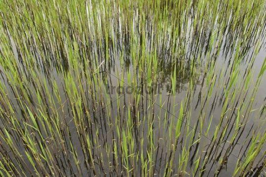 Fresh reeds at a brick pond, Austria, Europe