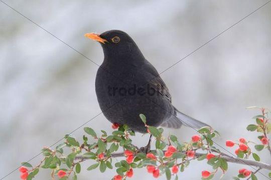 Blackbird (Turdus merula), male