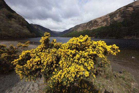 Furze or common gorse (Ulex europaeus), Upper Lake, Vale of Glendalough, Wicklow Mountains, County Wicklow, Republic of Ireland, British Isles, Europe