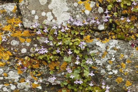 Ivy-leaved toadflax or Kenilworth Ivy (Cymbalaria muralis, syn.: Linaria cymbalaria) on an old wall with lichens, Republic of Ireland, British Isles, Europe