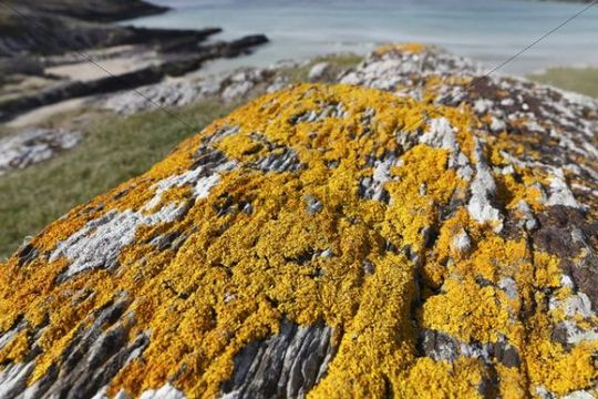 Yellow lichen on rock, Barley Cove, Mizen Head Peninsula, West Cork, Republic of Ireland, British Isles, Europe