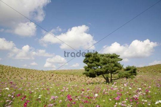 Tree in a cosmos flower field