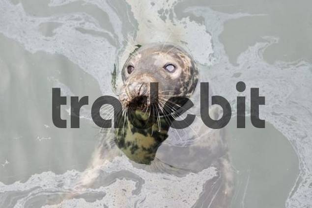 seal in petrol covered water in the harbour of Kilmore Quay, Wexford, Ireland