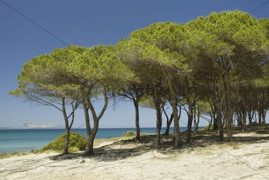 Pine (Pinus pineta) grove on sand dune at turquoise sea, Santa Anna, Pineta, Sardinia, Italy, Europe