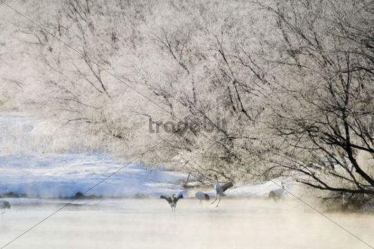 Red-crowned cranes (Grus japonensis) on a frozen lake, Japan, Asia