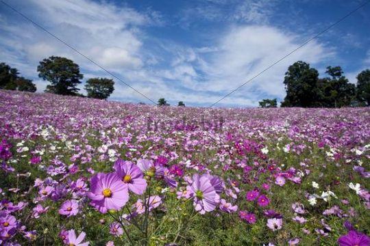 Cosmos flower field, Tokyo, Japan, Asia