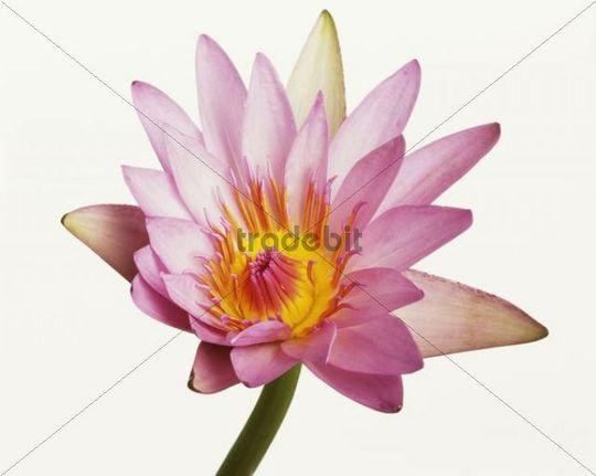 Pink Lily (Lilium)