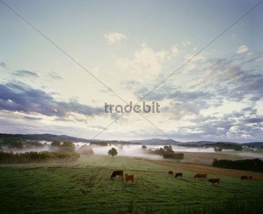 Cattle, pasture, rural landscape, fog, Limousin, France, Europe