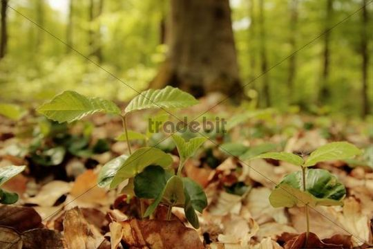 Young saplings, European beech (Fagus sylvatica) in beech forest, spring