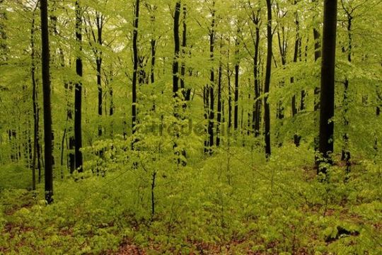 Fresh green beech forest in May with natural regeneration of the European beech (Fagus sylvatica)