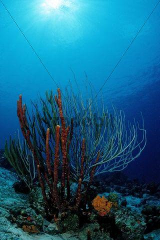 Caribbean coral reef, Cuba, Caribbean Sea