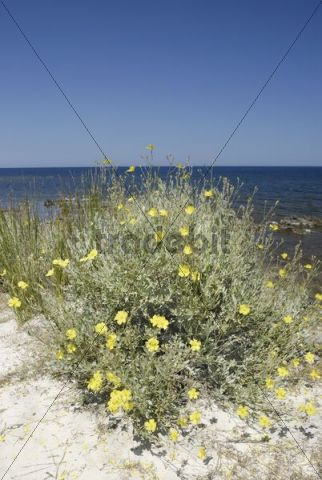 Yellow flowering shrub, Rock rose (Hamilium hamiliumfolium) on sandy beach, Santa Anna, Pineta, Sardinia, Italy, Europe