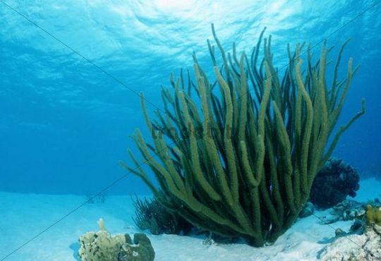 Caribbean Sea Creatures: Corals On Sandy Ground, Tobago, Caribbean Sea